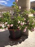 Rendez Vous aux Jardins 2018 -Exposition de rosiers dans les Jardins du Palais Royal