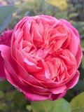 Journées du patrimoine 2016 -L'association Avenir06 vous invite à découvrir certains aspects du patrimoine horticole de Vallauris Golfe Juan et des roses Nabonnand