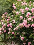 Rendez Vous aux Jardins 2018 -A la découverte des roses anciennes créées en Europe depuis des décennies