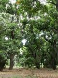 Journées du patrimoine 2016 -Laperrière ou le Vieux Saint-Paul, 200 ans de culture de la mangue