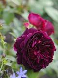 Rendez Vous aux Jardins 2018 -Récital littéraire Rosa Candida par l'Orchestre Régional de Normandie