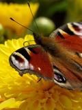 Journées du patrimoine 2016 -Sciences participatives: le programme observatoire des papillons des jardins