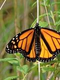 Journées du patrimoine 2016 -Sciences participatives : le programme observatoire des papillons des jardins