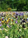 Rendez Vous aux Jardins 2018 -Une exceptionnelle collection d'iris