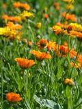 Rendez Vous aux Jardins 2018 -Visite des cultures de plantes aromatiques