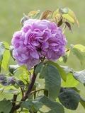 Rendez Vous aux Jardins 2018 -Visite guidée « Le poète et les roses »