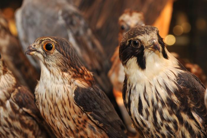 Journées du patrimoine 2019 - Musée Ornithologique Charles Payraudeau