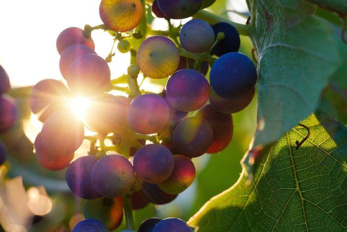 Journées du patrimoine 2020 - A la découverte des vignes du Cendre