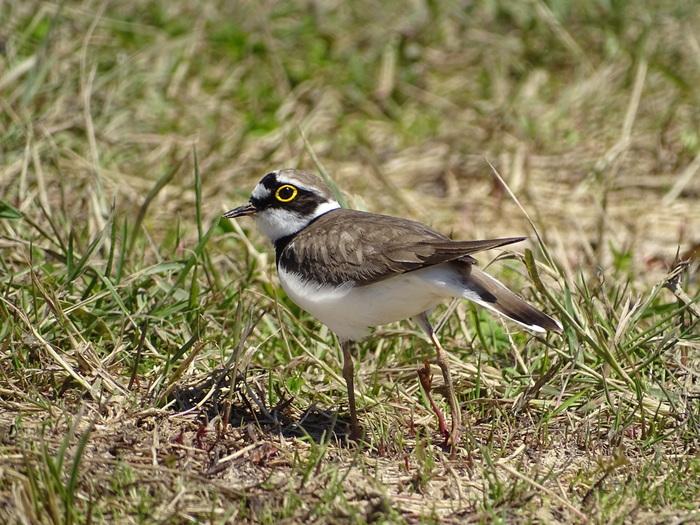 Les oiseaux migrateurs du Grand-Voyeux
