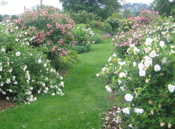 Rendez Vous aux Jardins 2018 -La roseraie de Saint-Galmier