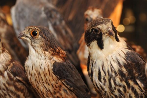 Nuit des musées 2018 -Musée ornithologique Charles Payraudeau